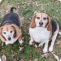 Adopt A Pet :: Ellie Mae - Downers Grove, IL