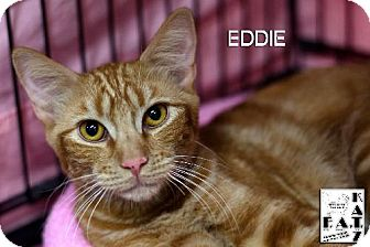 Domestic Shorthair Cat for adoption in Albuquerque, New Mexico - Eddie