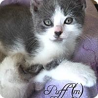 Adopt A Pet :: Puff - Island Park, NY