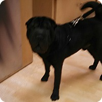 Adopt A Pet :: Steeler - Scottsdale, AZ