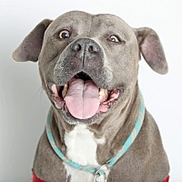 Terrier (Unknown Type, Medium)/American Staffordshire Terrier Mix Dog for adoption in Roseville, California - Capone