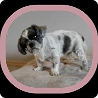 Shih Tzu Dog for adoption in Tampa, Florida - ELLIE MAE (T&D KW)