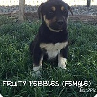 Adopt A Pet :: Fruity Pebbles - Red Bluff, CA