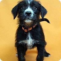 Adopt A Pet :: INGA - Westminster, CO