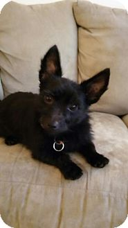 Yorkie, Yorkshire Terrier/Cairn Terrier Mix Dog for adoption in Doylestown, Pennsylvania - Kylie and Kendall