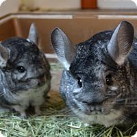 Chinchilla for adoption in Seattle, Washington - Penn
