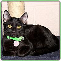 Domestic Shorthair Cat for adoption in Glendale, Arizona - Jetaime