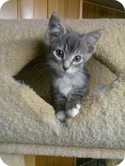 Domestic Shorthair Kitten for adoption in Harrisburg, Pennsylvania - Lenny (baby boy)
