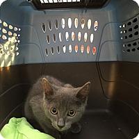 Adopt A Pet :: Vladimir - New  York City, NY