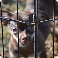 Adopt A Pet :: Snickers - Springfield, VA