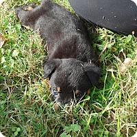 Adopt A Pet :: Annabelle - Springtown, TX