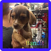 Adopt A Pet :: Bandit - Los Angeles, CA