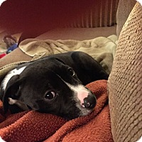 Adopt A Pet :: Fiona2 - Las Vegas, NV