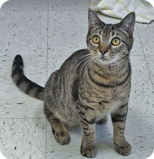 Domestic Shorthair Cat for adoption in Chambersburg, Pennsylvania - Ronald