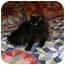 Photo 2 - Siberian Cat for adoption in Fairhope, Alabama - Mary Jane