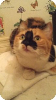 Calico Cat for adoption in Fountain Hills, Arizona - ALEXIS