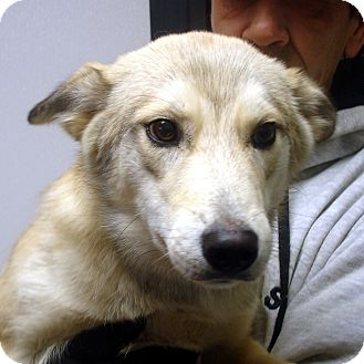 Husky Mix Dog for adoption in Brattleboro, Vermont - Coyote
