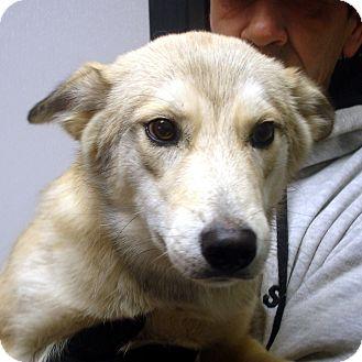 Coyote | Adopted Dog | Brattleboro, VT | Husky Mix
