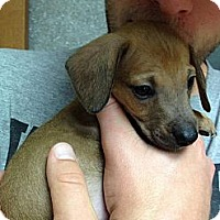 Adopt A Pet :: Pluto - Grand Rapids, MI