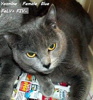 Domestic Mediumhair Cat for adoption in Hazard, Kentucky - Yasmine