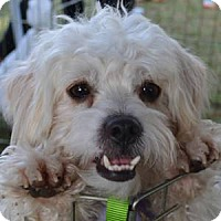 Adopt A Pet :: Scoobie - La Costa, CA