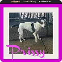Adopt A Pet :: Prissy - bullard, TX