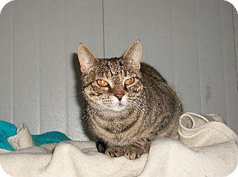 Domestic Shorthair Cat for adoption in Watsontown, Pennsylvania - Karleigh