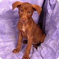 Adopt A Pet :: Emmy Lou Lab Mix - St. Louis, MO