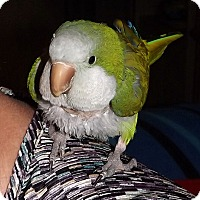 Adopt A Pet :: Kiwi - Tampa, FL