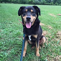 Rottweiler Mix Dog for adoption in Brentwood, Tennessee - Beau