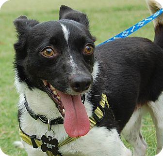 Terrier (Unknown Type, Medium) Mix Dog for adoption in Memphis, Tennessee - Domino