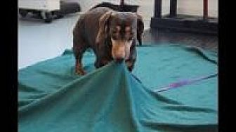 Dachshund Dog for adoption in Mount Gretna, Pennsylvania - LL Bean