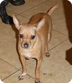 Chihuahua Mix Dog for adoption in San Diego, California - Cece