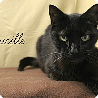 Domestic Shorthair Cat for adoption in Melbourne, Kentucky - Lucille
