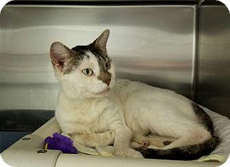 Domestic Shorthair Cat for adoption in Elyria, Ohio - Sanford
