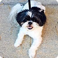 Shih Tzu Mix Dog for adoption in Alpharetta, Georgia - Mat