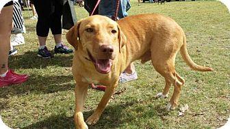 Golden Retriever/Labrador Retriever Mix Dog for adoption in Olympia, Washington - Fred