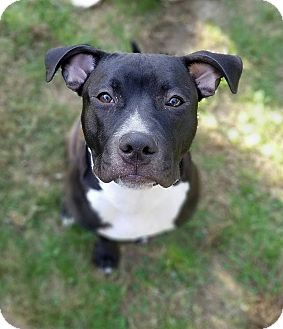Labrador Retriever/Pit Bull Terrier Mix Dog for adoption in Bergen County, New Jersey - Brie
