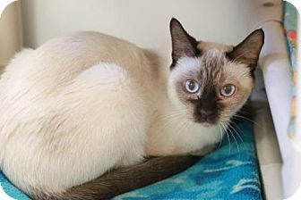 Domestic Shorthair Cat for adoption in Boise, Idaho - Pickles