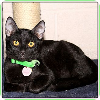 Domestic Shorthair Cat for adoption in Glendale, Arizona - Jetaime