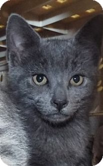 Domestic Shorthair Kitten for adoption in Grants Pass, Oregon - Feather