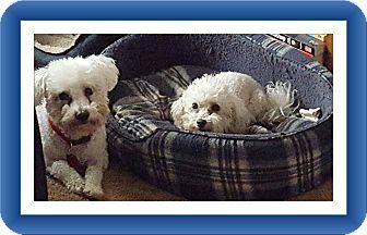 Bichon Frise Dog for adoption in Tulsa, Oklahoma - Adopted!!Jazz & Ace - OK