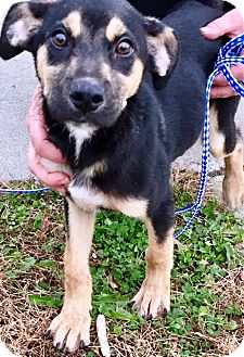 Golden Retriever/German Shepherd Dog Mix Puppy for adoption in Oswego, Illinois - Kringle