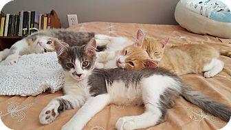 Domestic Longhair Kitten for adoption in Virginia Beach, Virginia - Hercules Mulligan