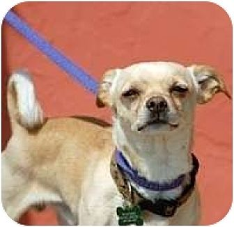 Chihuahua Mix Dog for adoption in Denver, Colorado - Faust