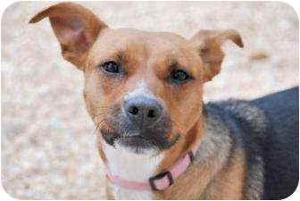 Beagle/American Pit Bull Terrier Mix Dog for adoption in Philadelphia ...