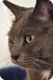 Domestic Shorthair Cat for adoption in Huntington, New York - Tink