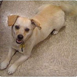 Photo 1 - Beagle/Terrier (Unknown Type, Small) Mix Dog for adoption in Fowler, California - Duke