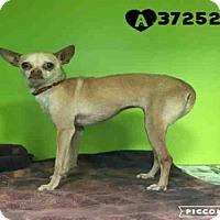 Adopt A Pet :: GIRL - San Antonio, TX