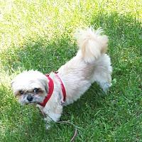 Shih Tzu Dog for adoption in Schofield, Wisconsin - Lady